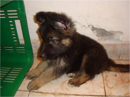 Fotos de cachorros pastor aleman valle del cauca for Pastores alemanes en coruna