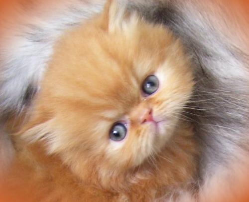 Gato persa Bogotá - Imagui
