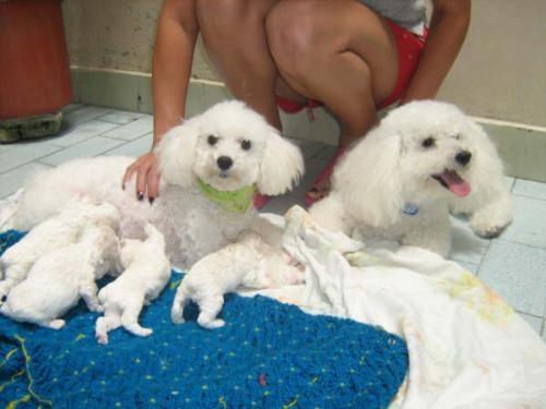 Fotos Vendo Cachorros French Poodle Mini Toy Originales Antioquia