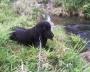 Ramón -Hermoso Labrador negro, busca novia