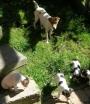 Jack russell ( excelentes cachorritos)