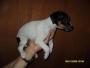 Jack russell excelentes cachorritos ($ 1'400.000 c/u)