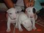 Bullterrier cachorritos (excelente calidad y pureza)