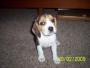 vendo  linda perrita beagle tricolor!!!!!