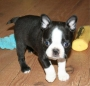 Boston terrier cachorros machos y hembras