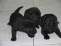 ***vendo 4 lindos cachorritos  labradores  negros,  l.d.s  *** $180.000,oo