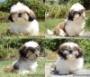 hermosos cachorros  BOSTON TERRIER  PUG Y SHITZU