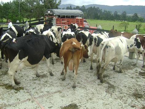 Fotos de vendo 12 vacas holstein a buen precio for Vacas decorativas para jardin