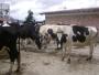 Vendo 12 vacas holstein a buen precio