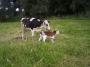 Vendo vacas, terneras, ganado ovino y caprino