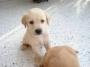 Labradores dorados