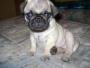 Linda cachorrita de raza pug
