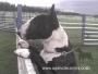Bull terrier cachorros todo el año ((( www.agenciacanina.com )))