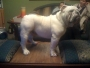 Vendo bulldog pedigree