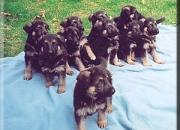 cachorros pastor alemán para su aprobación