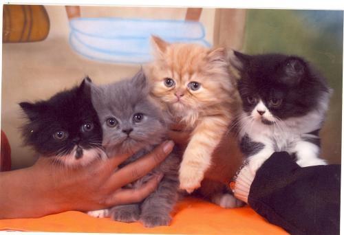 Lindos gatitos persa - Bogotá, Colombia - Animales / Mascotas