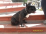 Bulldog frances importado, ofrezco montas, (busca novias)