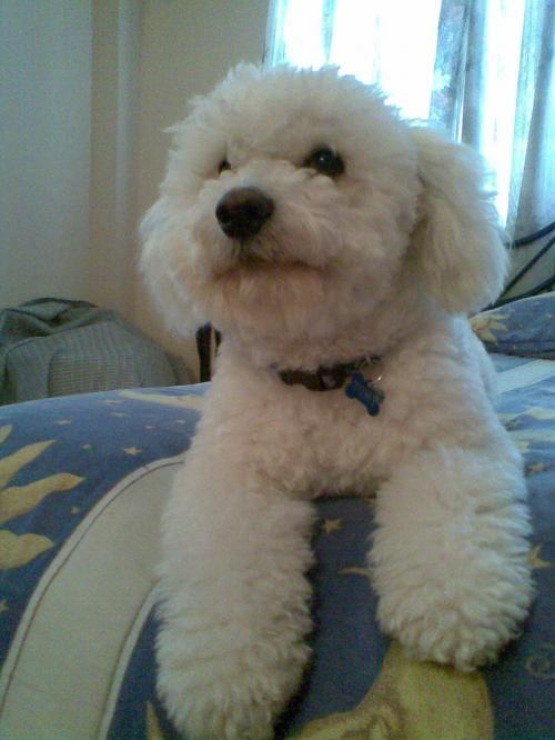 Perros french poodle con vestidos - Imagui