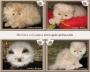 Venta gatos en bogotã¡: gatitos persas e himalayos