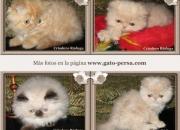 Venta Gatos en Bogotá: Gatitos Persas e Himalayos