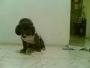 Busco novia fresch pudel  miniatura en cali v