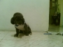 busco novia fresch pudel  miniatura en cali valle del cauca colombia