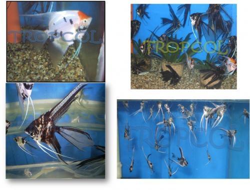 Fotos de peces ornamentales bogot distrito especial for Manual de peces ornamentales