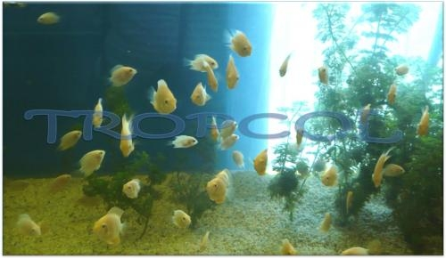 Fotos de peces ornamentales bogot distrito especial for Criadero de peces ornamentales
