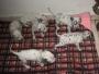 Vendo lindos cachorros labradores