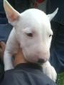 Vendo lindo cachorrito bull terrier