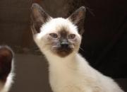 venta de gatos siames