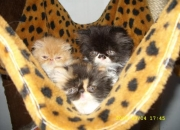 VENDO HERMOSOS GATOS PERSAS CON PEDIGREE