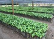 venta de teca en semillas y plantas,  comercializacion en general.