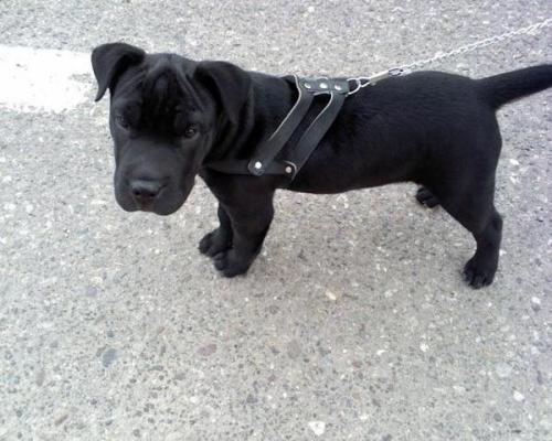 MIL ANUNCIOS.COM - Pitbull cachorros. Compra-venta de