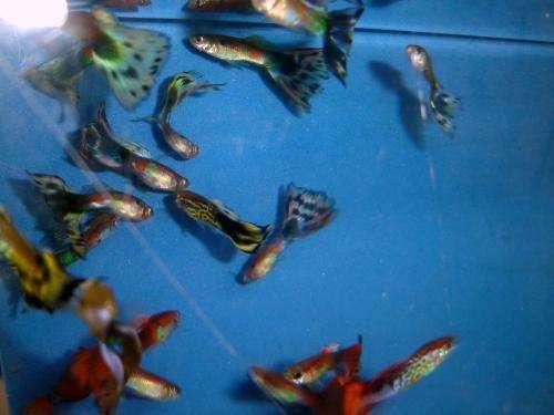 fotos de peces ornamentales: