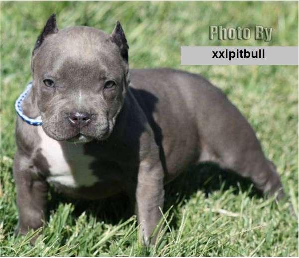 Ladrón destrozado por pitbull (fotos horribles)   DOGGUIE