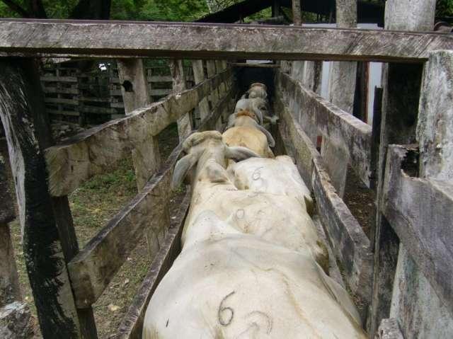 Fotos de Venta permanente terneros destetos, machos de levante, ganado para cebar, cebu b 3