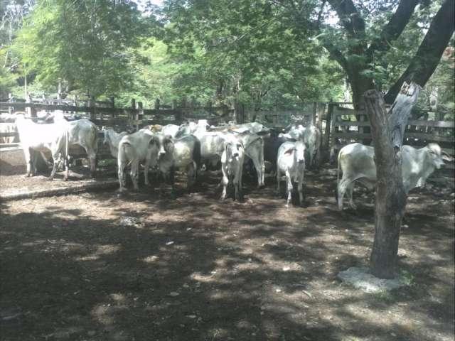 Fotos de Venta permanente terneros destetos, machos de levante, ganado para cebar, cebu b 5