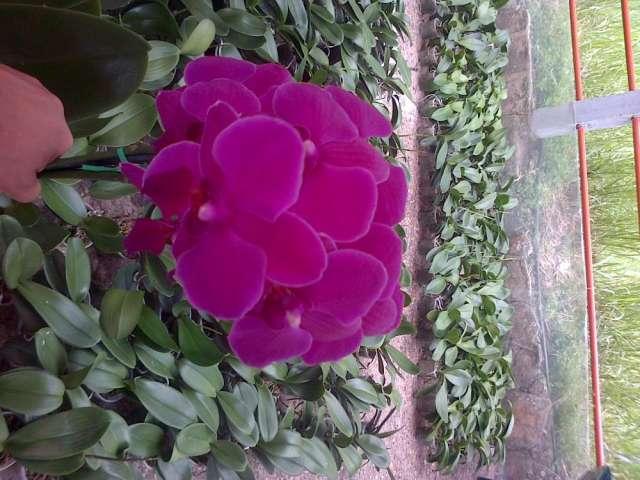 Orquideas ornamentales for Ver plantas ornamentales