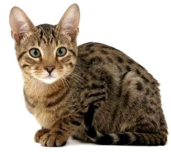 Castracion esterilizacion gatos 130.000