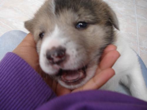 Fotos de Vendo cachorritas akita 3