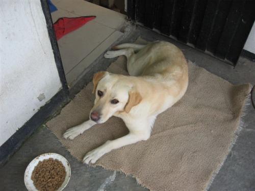 Labradora busca hogar