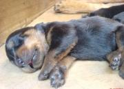 Hermosos cachorros Rottweiller 100% puros