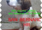 san bernardos san bernardo 100% puros cachorros vendo morakarola2008@hotmail.com