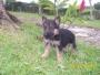 vendo cachorros pastor aleman pura raza