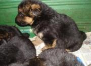Cachorros ovejero aleman , con pedigree internacional