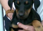 hola vendo hermosos cachorritos rottweiler y doberman