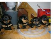 vendo hermosos cachorritos rottweiler