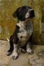 Regalo Cachorrita de Cruce Dalmata con Labrador con apenas 2 meses de nacida