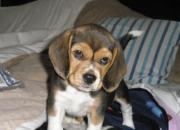 Vendo linda cachorrita beagle tricolor pura mes y medio de nacida